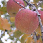 長野県安曇野のリンゴ農園に見学に行ってきた。