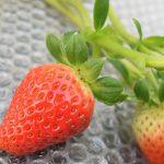 いちご栽培は高設栽培が主流でも川原さんのところはこだわりの土壌栽培